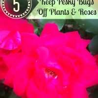 how to get rid of bugs on roses and plants